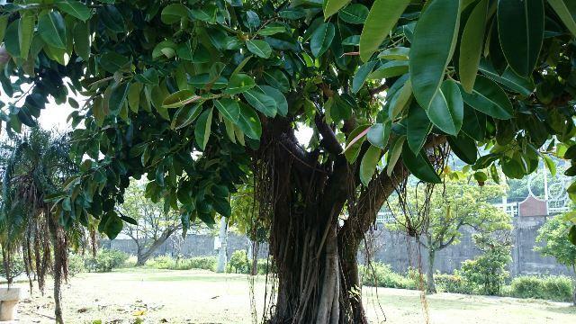 インドゴムの木②(Web大)