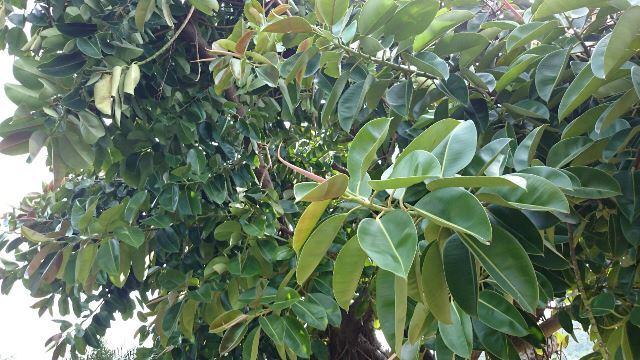 インドゴムの木③(Web大)