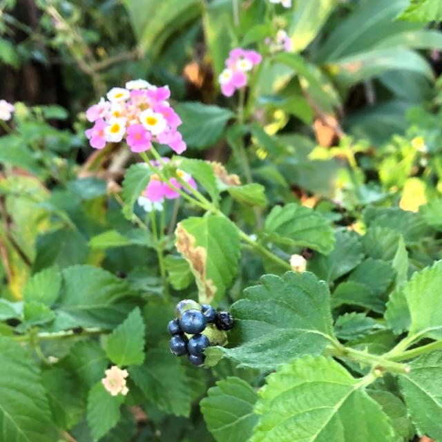 ランタナ(ピンク・白)花と実